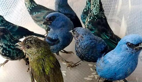 Detienen en Perú a ciudadano belga con 20 aves silvestres en la maleta