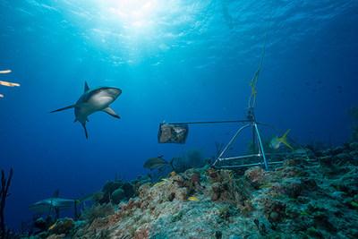Primer estudio global de su tipo revela que los tiburones están funcionalmente extintos en muchos arrecifes