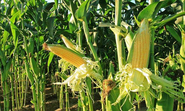 El 53.1% de las unidades de producción de granos comercializan con intermediarios y 25.1% directamente con el consumidor