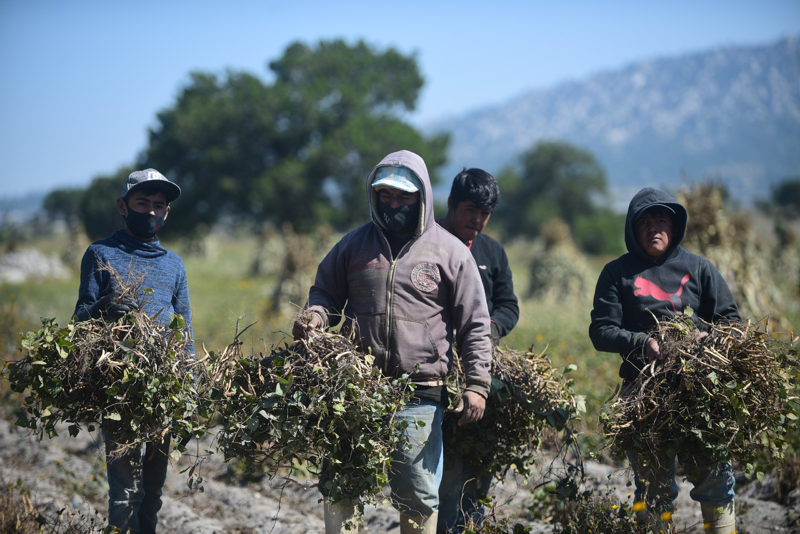 Productores de Emilio Portes Gil duplicarán cosecha de frijol con asesoría de Granjas Carroll