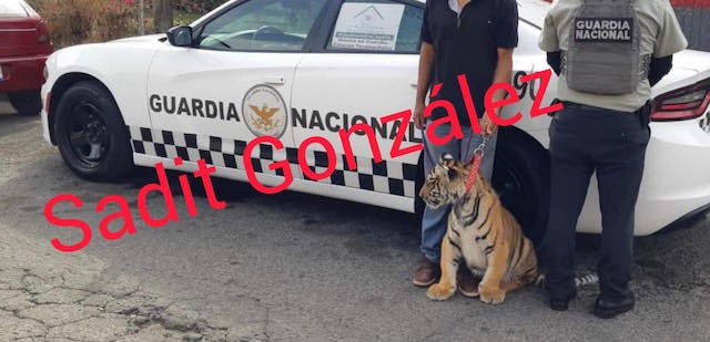 Localizan en Acatzingo al Tigre de la Libertad