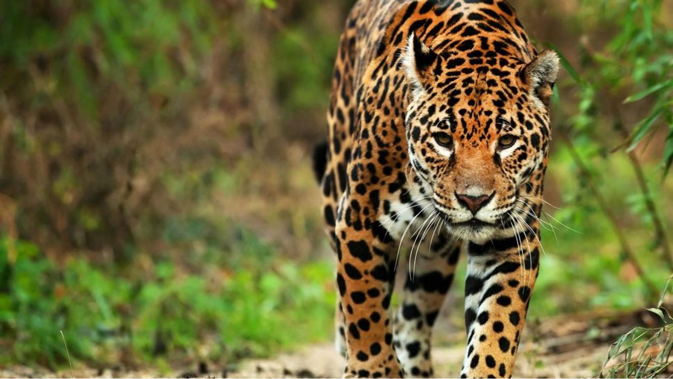 Tras los pasos del Jaguar: GQ México y Latinoamérica se adentró en la selva de Campeche, la casa del gran felino Americano