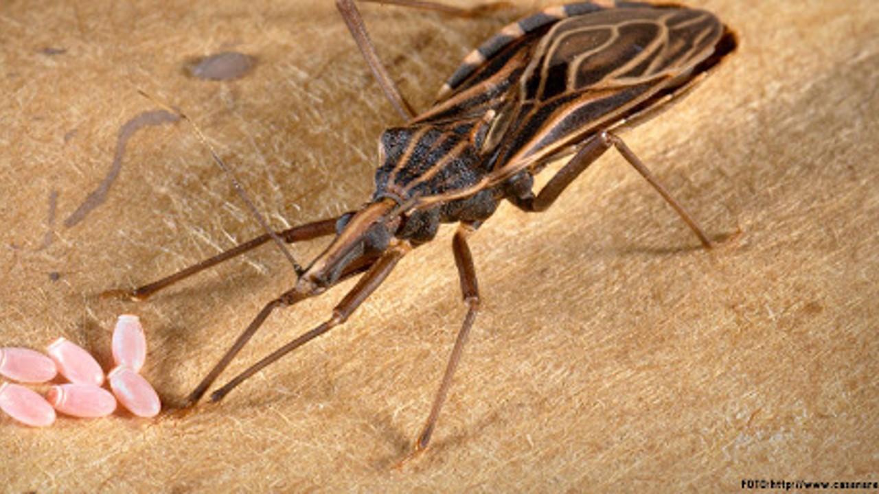 La ONU lanza una nueva iniciativa para combatir el mal de Chagas, la enfermedad parasitaria más mortal de América Latina