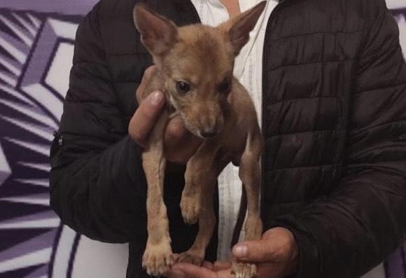 Pretendía vender un coyote, lo detuvo la Policía Estatal