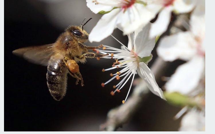Científicos entrenan abejas para detectar muestras con COVID-19