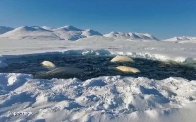 Manada de ballenas beluga queda atrapada en una 'jaula' de hielo; increíble video se hace viral