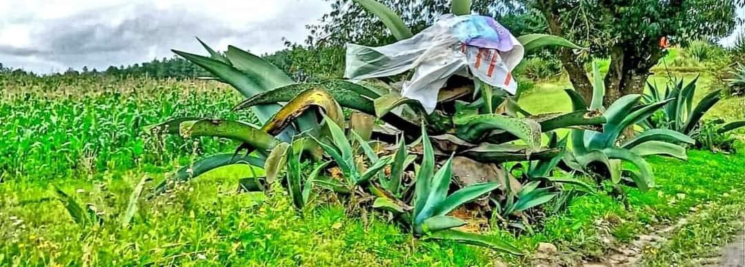 Producción de pulque continúa como pilar económico para familias de la Sierra Norte de Puebla