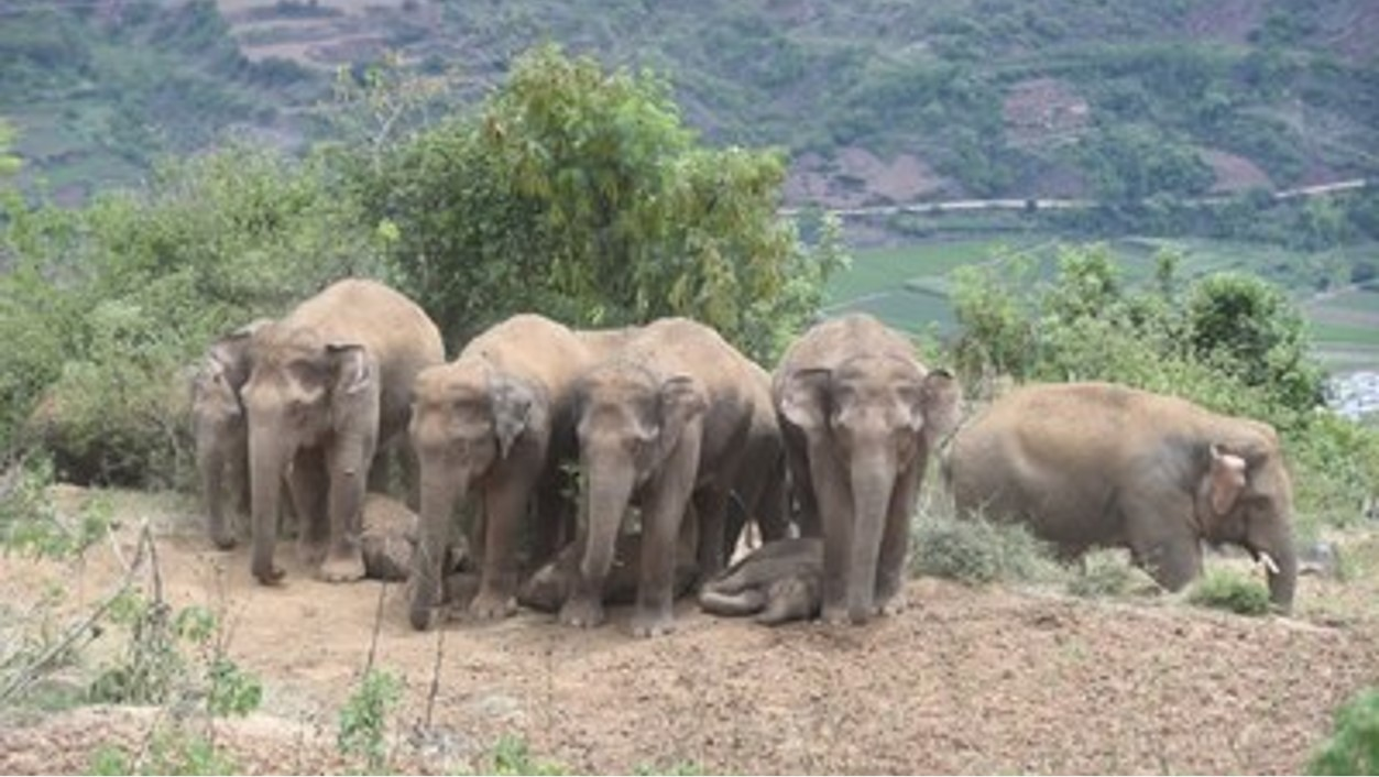 Xinhua Silk Road: Manada de elefantes migrantes de China está protegida en Yunnan Yuxi