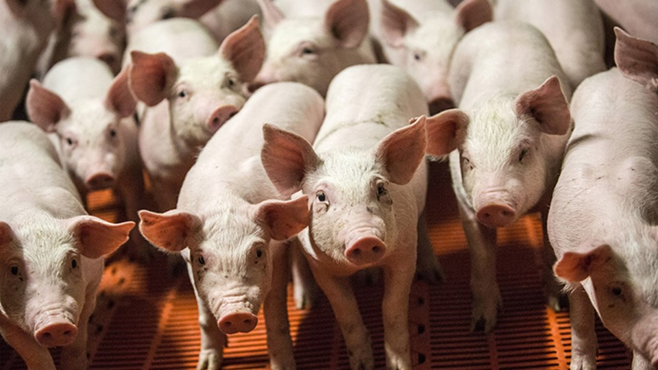 ¡Lo que nos faltaba!: Alerta en América; la peste porcina africana ha sido detectada en la República Dominicana