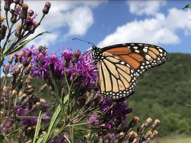 Ya están aquí… Puntuales a la cita llegaron las mariposas monarca a México
