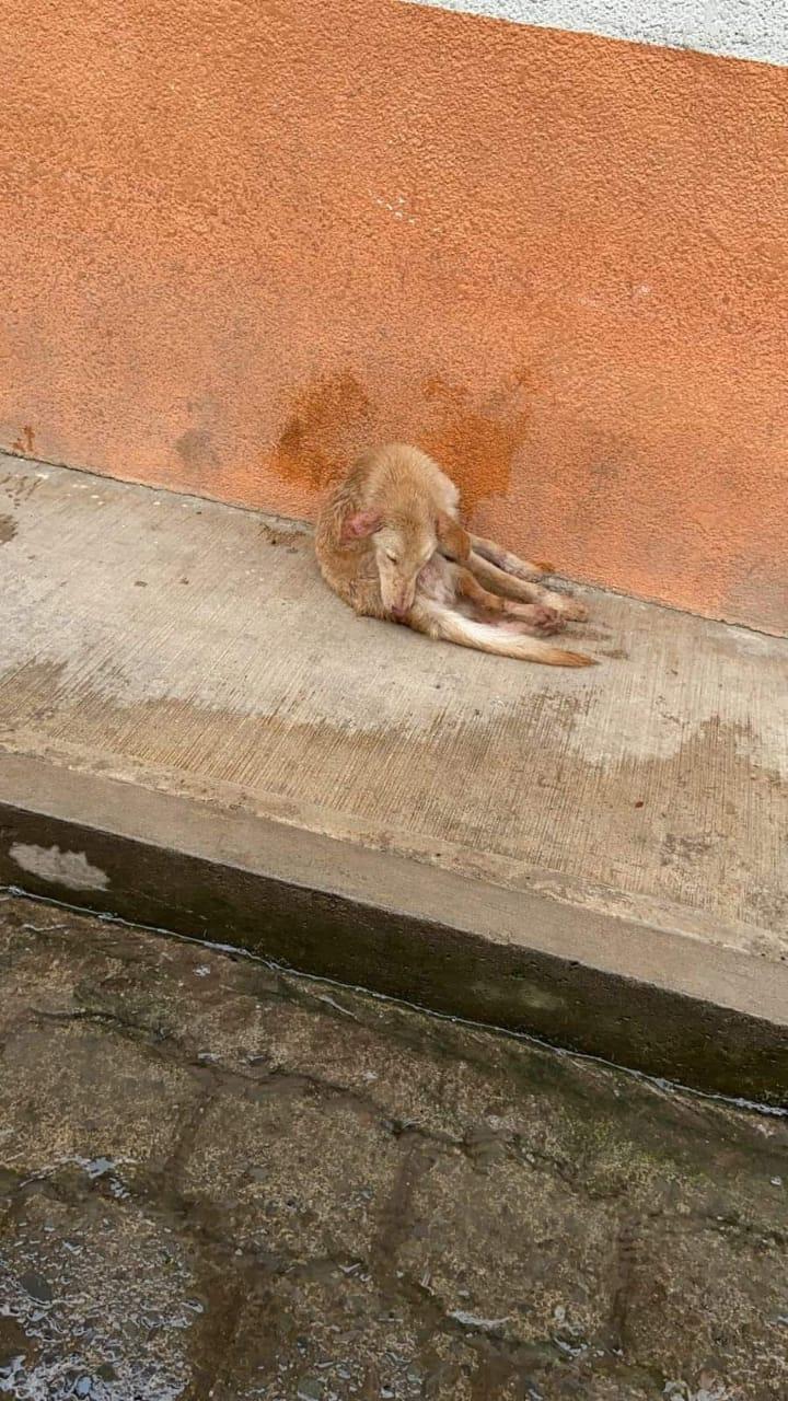 Desde Huauchinango: Unidad 08 de la Ruta 05 atropelló a un perrito sin importarle los daños que causó