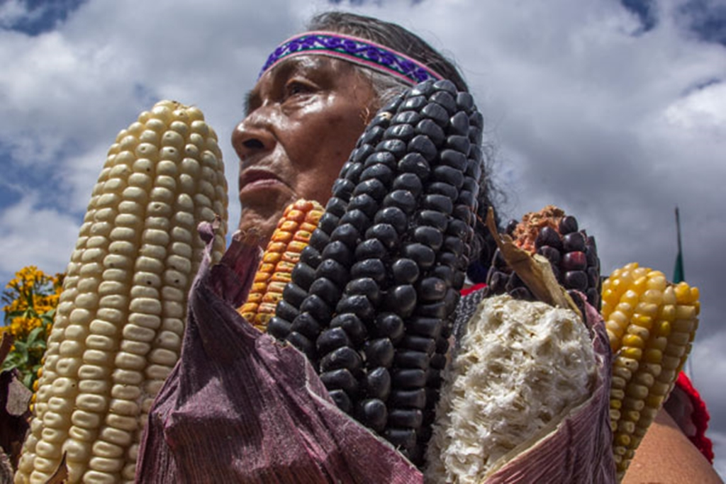 Autoridades y comunidades indígenas celebraron el Día del Maíz con diversas actividades con miras a lograr el abasto alimenticio