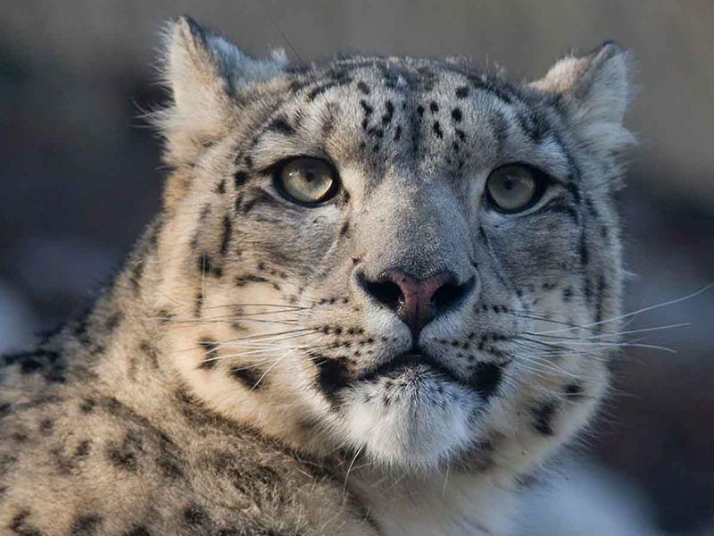Muere leopardo en zoológico de Estados Unidos; presentaba síntomas de covid